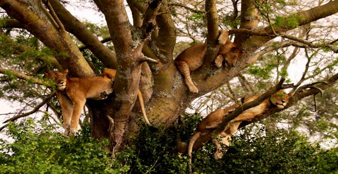treeclimbinglions