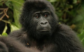 Affordable 3 Days Bwindi Gorilla Safari