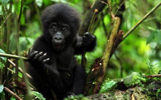 4 Days Gorilla