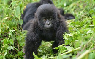 3 Days Rwanda Gorilla