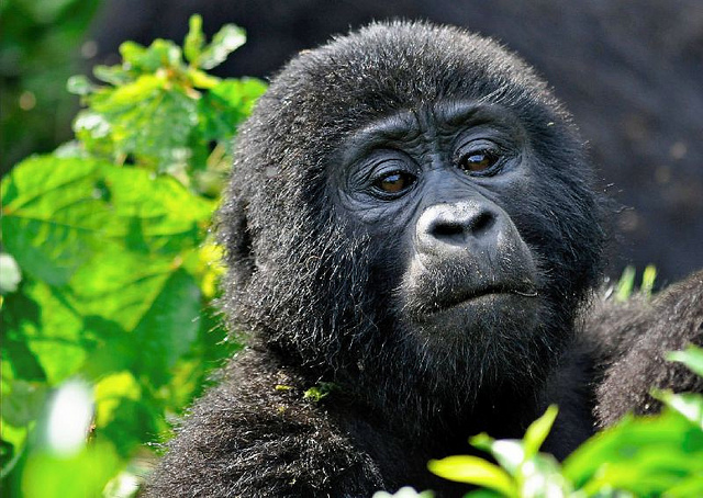4 Days Flying Gorilla Safari - Chartered Gorilla Trekking in Bwindi