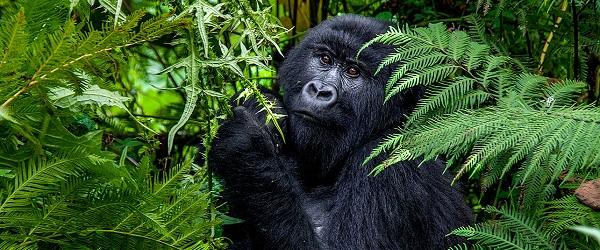 rwandaruan gorilla trekking