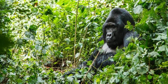 Gorilla Families in Ruhija