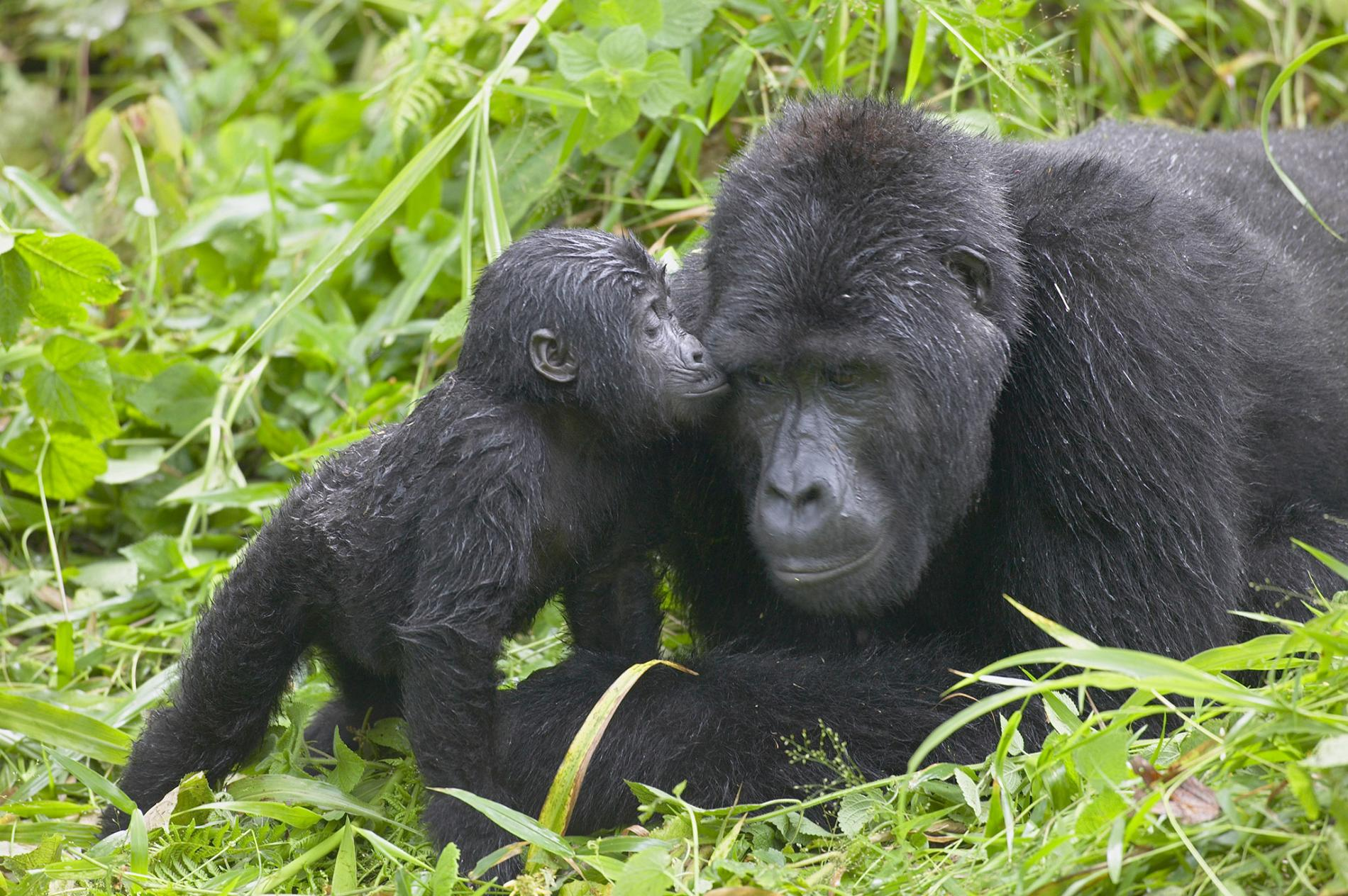 Gorilla Groups in Buhoma