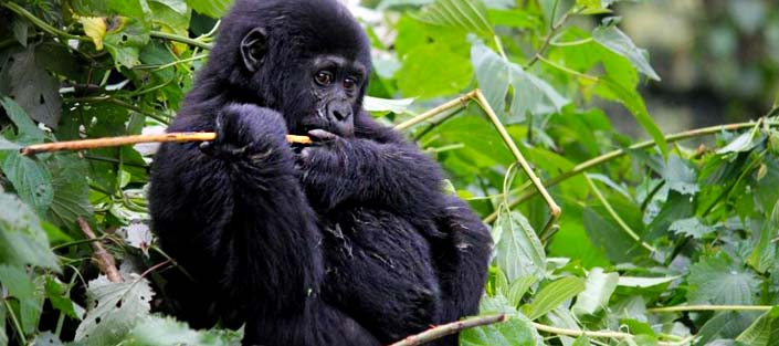 Gorilla Groups in Nkuringo