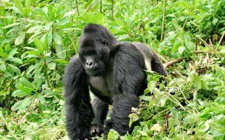 Gorilla Groups in Rushaga