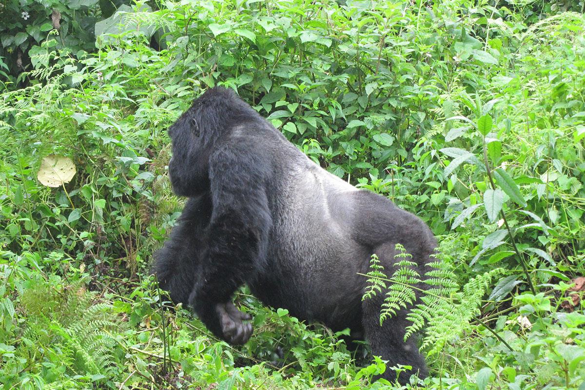 Kahungye Gorilla Family