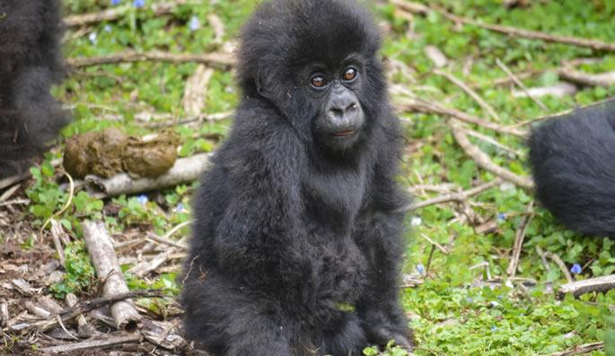 Karisimbi Gorilla Family