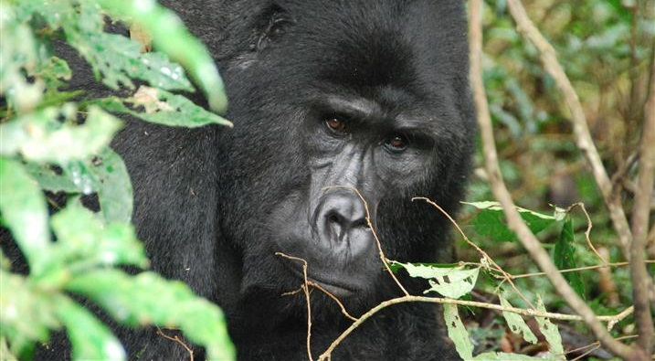 Mishaya Gorilla Family