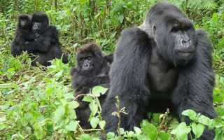 Oruzongo Gorilla Family