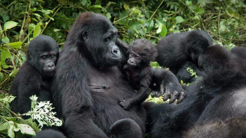 Ugenda Gorilla Family