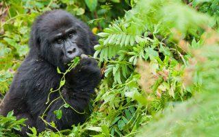Where to see gorillas in Uganda