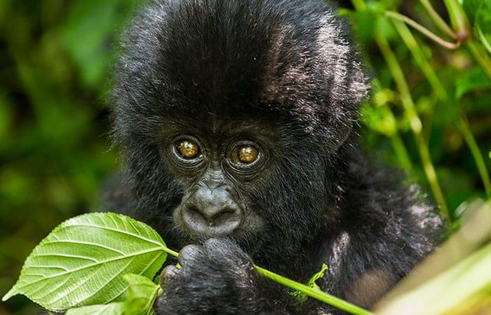 Bageni Gorilla Family