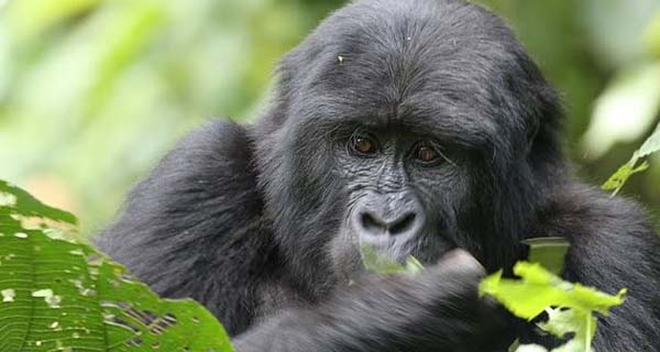 How to save money on your gorilla trekking holidays