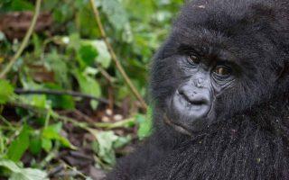 Humba Gorilla Familyy
