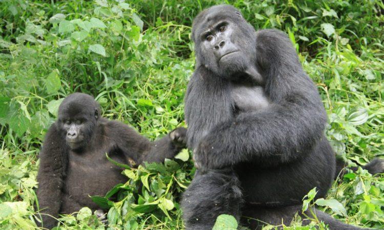 Kabirizi Gorilla Groupp