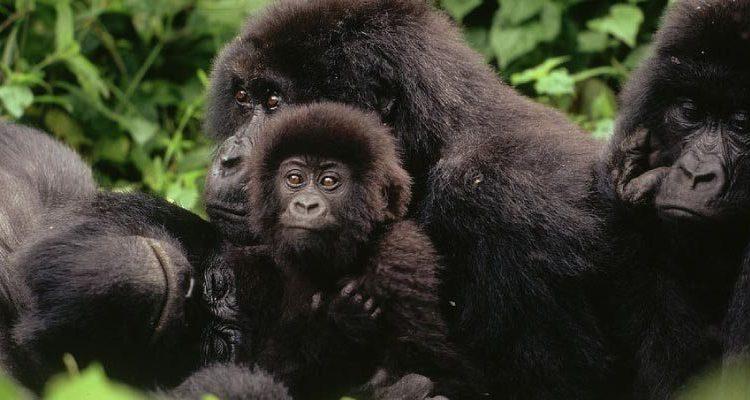 Lulengo Gorilla Group