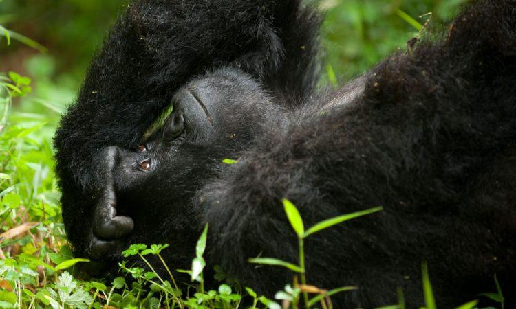 Mapuwa Gorilla Group